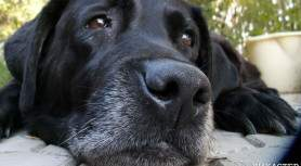 Скулящая собака