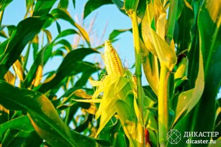 бизнес-притча про фермера и кукурузу