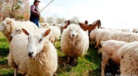 Консультант и овцы