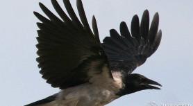 Сильная ворона
