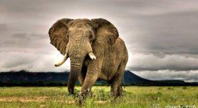 Слон, привязанный веревкой