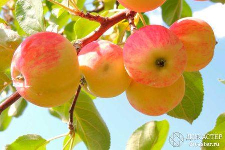 яблоко, падающее в руку - бизнес-притча о сильном желании